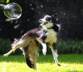 Border Collie Chasing Bubbles!
