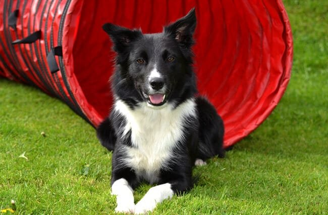 Border Collie posing at the exit to an agility dog tunnel