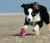 Border Collie Puppy Chasing A Tiny Ball