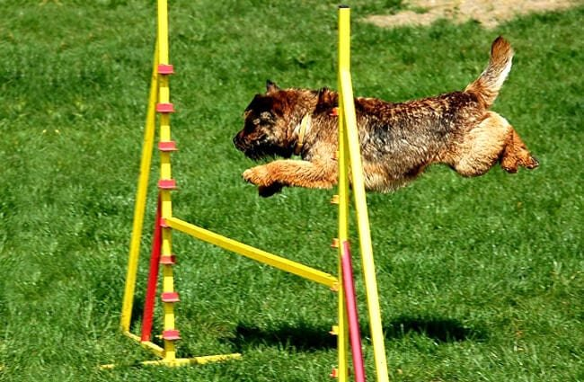 Border Terrier on the agility course