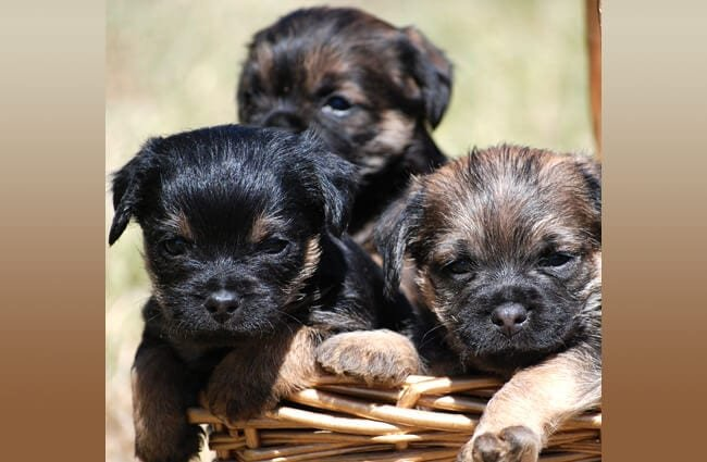 A basket of Border Terrier puppies
