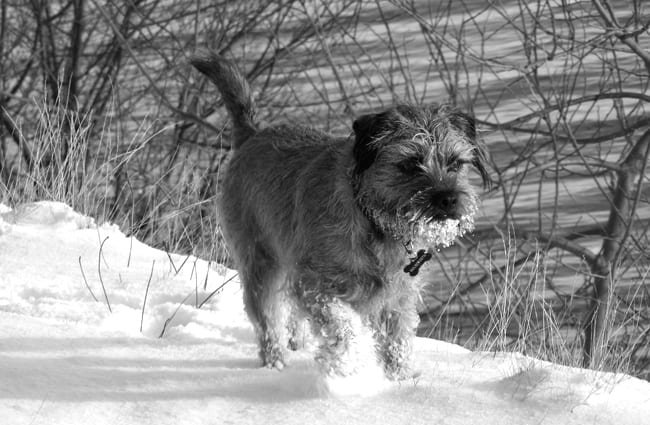 Border Terrier playing in the snow