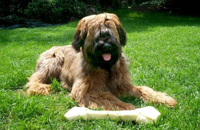 Briard dog with his chew bone