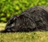 Full-Coated Black Briard Dog On The Grass Photo By: (C) Sandrafotodesign Www.fotosearch.com