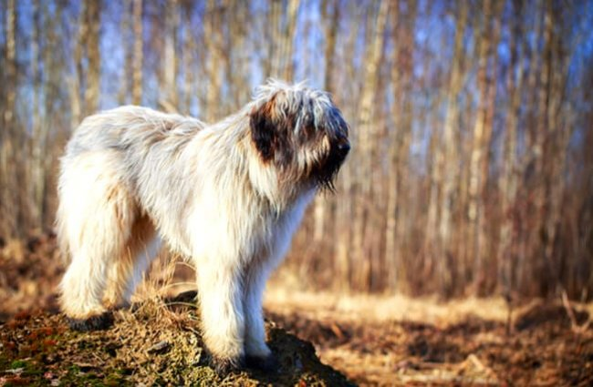 Briard ever watchful in the country Photo by: (c) DragoNika www.fotosearch.com