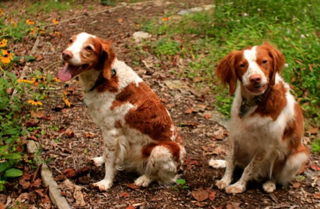 A pair of Brittany spaniels posing in the yard