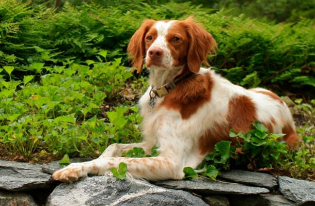 Portrait of a Brittany