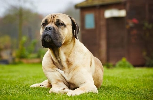 Cane Corso dog lounging in the garden.Photo by: (c) chalabala www.fotosearch.com