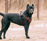 Young Black Cane Corso Dog.photo By: (C) Ryhor Www.fotosearch.com