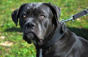 Portrait of a grey Cane Corso.Photo by: (c) cynoclub www.fotosearch.com