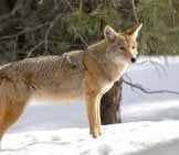 Coyote Near The Snowy Forest