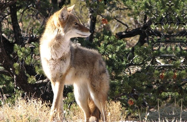 Beautiful alert coyote