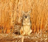 Beautiful Portrait Of A Coyote