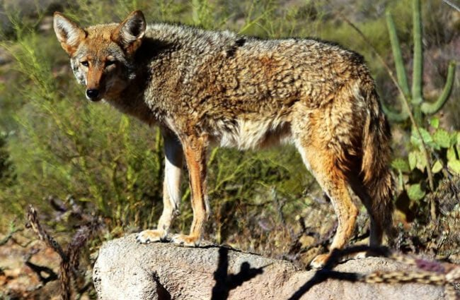Coyote on a rock