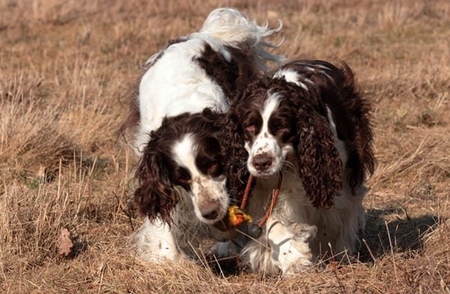 A pair of English Springer Spaniels playing in the field