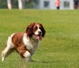 English Springer Spaniel Posed In Training