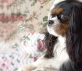 Portrait Of An English Toy Spaniel Photo By: Franco Vannini //creativecommons.org/licenses/by-Sa/2.0/