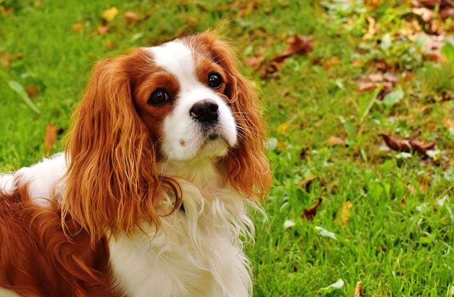 Beautiful English Toy Spaniel