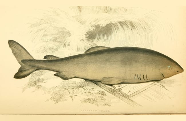 Drawing of a Greenland Shark Photo by: Biodiversity Heritage Library //creativecommons.org/licenses/by/2.0/