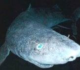 Greenland Sharkphoto By: Justin//creativecommons.org/licenses/by/2.0/