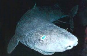 Greenland SharkPhoto by: Justinhttps://creativecommons.org/licenses/by/2.0/