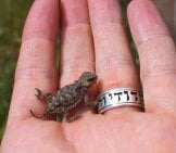 Wild Baby Horny Toad In Someone's Hand Photo By: (C) Sabryson Www.fotosearch.com