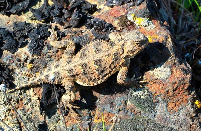 Pygmy Short-horned Lizard (horny toad)Photo by: (c) randimal www.fotosearch.com