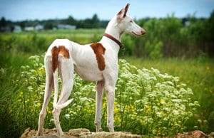 Ibizan Hound standing in fieldPhoto by: (c) DragoNika www.fotosearch.com