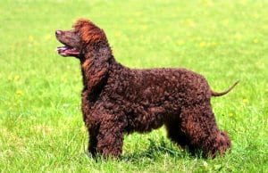 Portrait of a lovely Irish Water Spaniel.Photo by: (c) CaptureLight www.fotosearch.com
