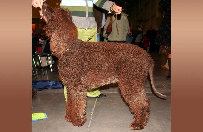 Beautiful Irish Water Spaniel at the dog show. Photo by: Pleple2000 https://creativecommons.org/licenses/by-sa/3.0/