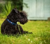 Young Kerry Blue Terrier Lounging In The Grass Photo By: Martin Hesketh Https://creativecommons.org/licenses/by/2.0/