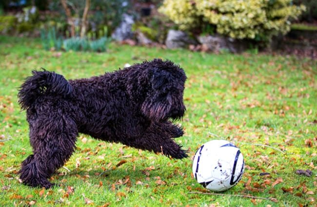 8-month-old Kerry Blue Terrier playing in the yard Photo by: Martin Hesketh https://creativecommons.org/licenses/by/2.0/