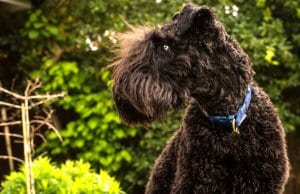 Portrait of a Young Kerry Blue Terrier Photo by: Martin Hesketh//creativecommons.org/licenses/by/2.0/