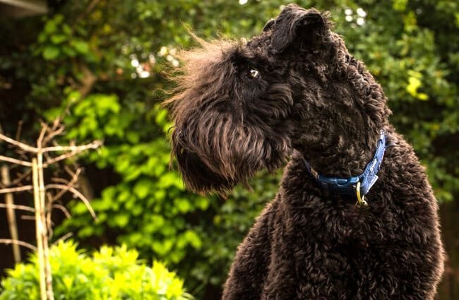 Portrait of a Young Kerry Blue Terrier Photo by: Martin Heskethhttps://creativecommons.org/licenses/by/2.0/