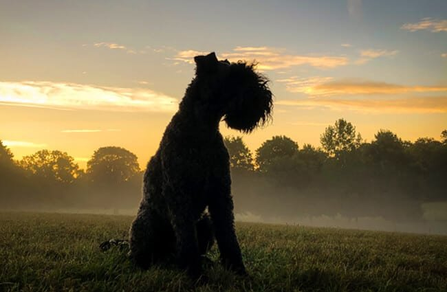 Kerry Blue Terrier in the early morning countryside Photo by: Martin Hesketh https://creativecommons.org/licenses/by/2.0/