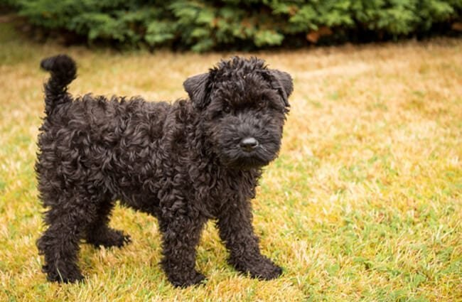 Kerry Blue Terrier puppy Photo by: Martin Hesketh https://creativecommons.org/licenses/by/2.0/