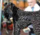 Kerry Blue Terrier On The Dog Show Grooming Table Photo By: Petful Www.petful.com