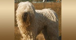 Komondor (Hungarian Sheep Dog) in a field.Photo by: Nikki68 CC BY 2.5 //creativecommons.org/licenses/by/2.5