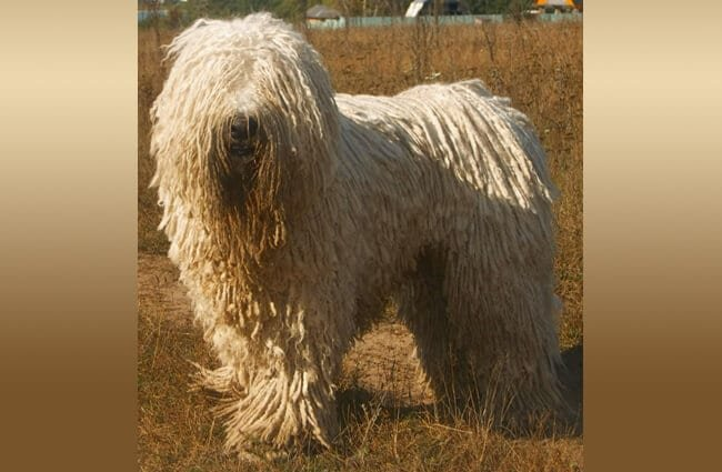 Komondor (Hungarian Sheep Dog) in a field.Photo by: Nikki68 CC BY 2.5 https://creativecommons.org/licenses/by/2.5