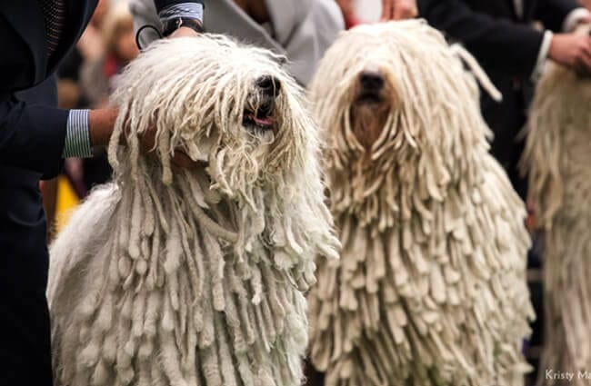A pair of Komondor dogs posing at the dog show. Photo by: Petful www.petful.com (photo cropped)