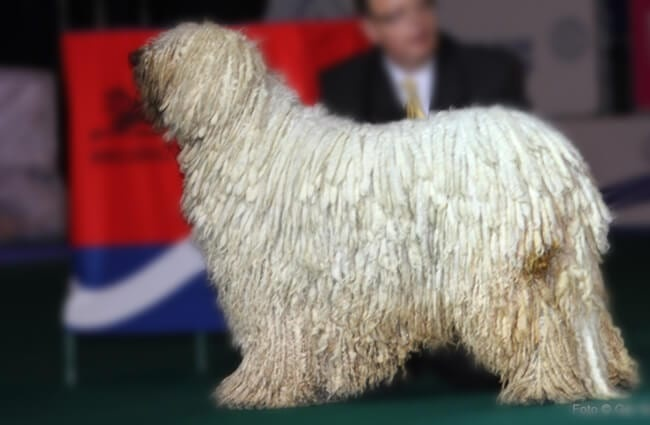 Stunning Komondor posing at the Euro Dog Show. Photo by: Ger Dekker https://creativecommons.org/licenses/by/2.0/