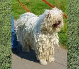 Komondor Hungarian Sheep Dog Photo By: Barry Marsh Https://creativecommons.org/licenses/by/2.0/