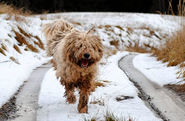 Komondor coming home dirty from fun in the snow!