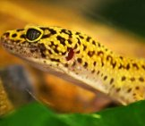 Closeup Of A Beautiful Yellow Leopard Gecko.