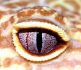 Ultra Close-Up Of A Leopard Gecko's Eye