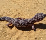 Large Leopard Gecko On The Sandy Desert Floor.