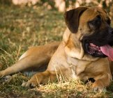 Mastiff Lounging In The Shade Photo By: Fotosuabe Https://creativecommons.org/licenses/by/2.0/