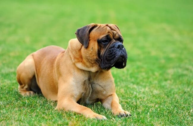 Beautiful Mastiff Photo by: (c) byrdyak www.fotosearch.com