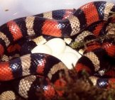 Pueblan Milk Snake Female With Eggs Photo By: Bernard Dupont //creativecommons.org/licenses/by-Sa/2.0/