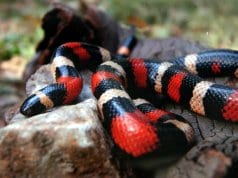 Mexican Milk SnakePhoto by: Bernard Spragg. NZ